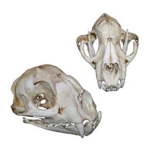 Cougar Skull (Made From Resin)