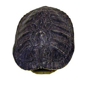 "Turtle Shells (4"" - 6"")"